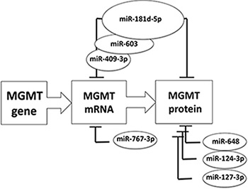 Schematic summary of major microRNAs reported to down-modulate MGMT expression.