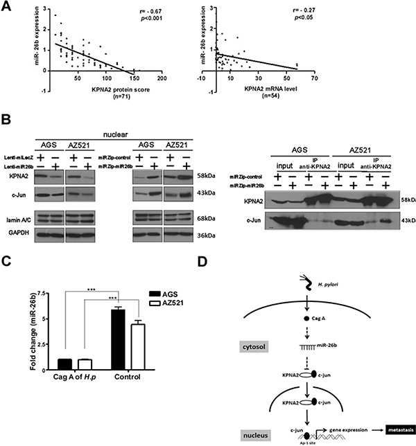 Downregulation of KPNA2 is inversely correlated with miR-26b expression in GC tissues.