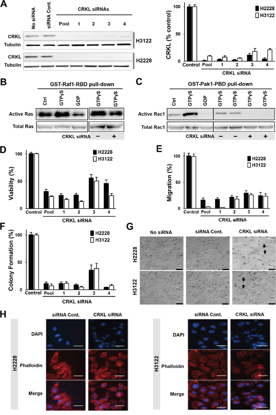 CRKL mediates ALK signaling and regulates cytoskeleton, cell migration and survival.