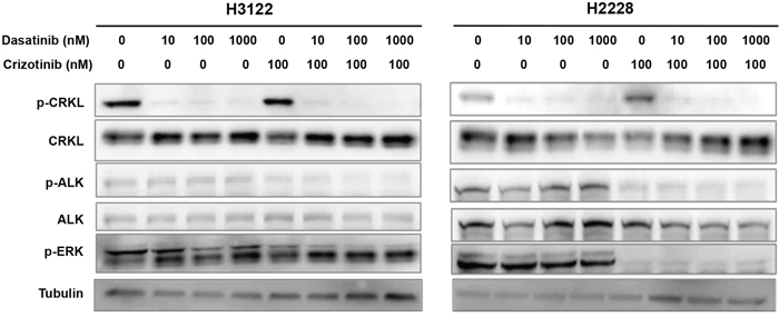 Dasatinib suppresses CRKL activation in the presence and absence of ALK inhibitor.