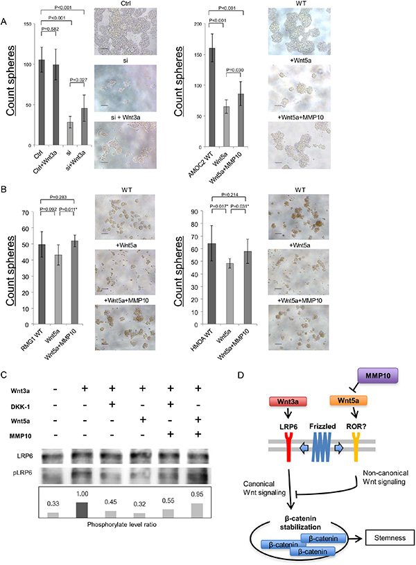 MMP10 activate canonical Wnt signaling by inhibition of noncanonical Wnt signaling ligand Wnt5a.