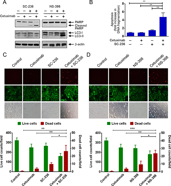 Pharmacological inhibition of COX-2 enzyme activity sensitizes Caco2 colorectal cancer cells to cetuximab via induction of apoptosis or autophagy.