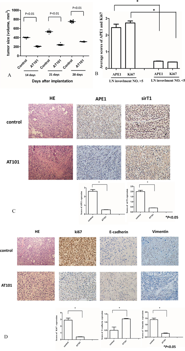 Tumor growth was inhibited by APE1 inhibitor-AT101 in vivo.