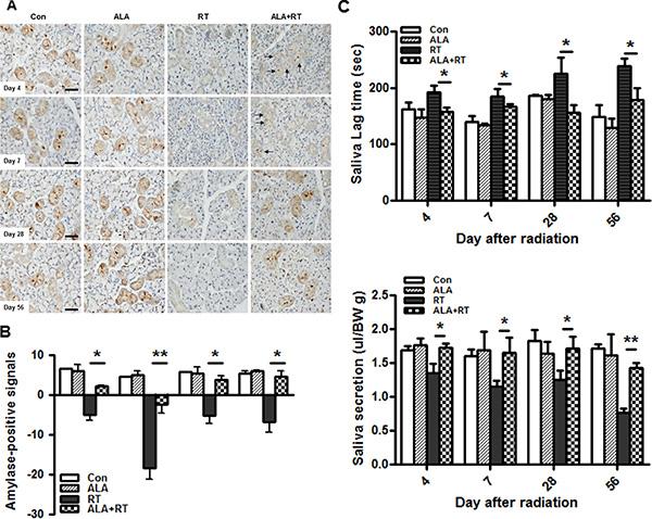 ALA ameliorates radiation-induced salivary dysfunction.