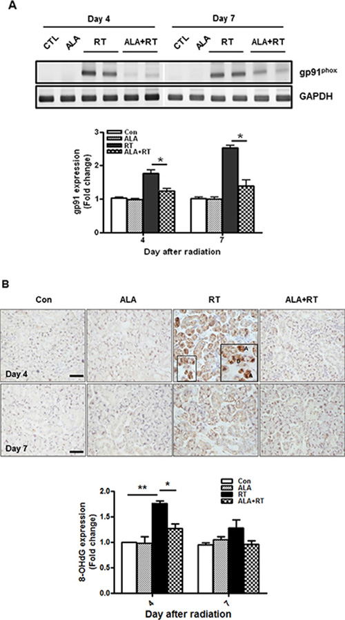 ALA reduces radiation-induced oxidative stress via Nox2 and 8-OHdG.