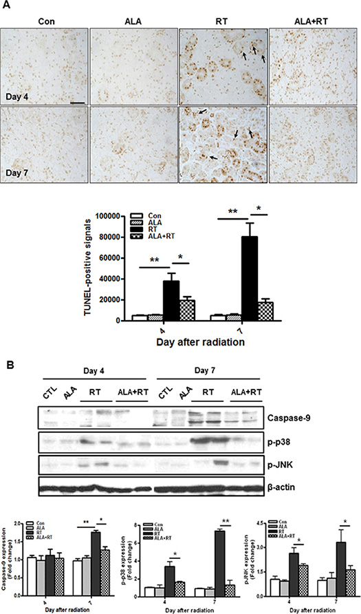 ALA decreases radiation-induced cell death in the SG.