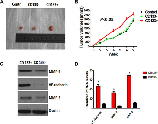 CD133+ cancer-like cells promoted the expression of VE-cadherin, MMP-2 and MMP-9, and enhanced VM- like channel formation.