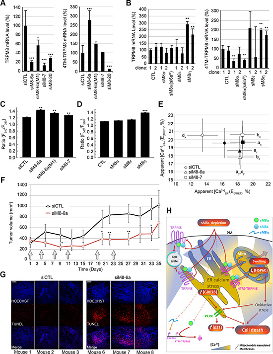 sM8 isoforms participate to the regulation of the level of expression of TRPM8 proteins and to Ca2+ concentration in both ER and mitochondria.
