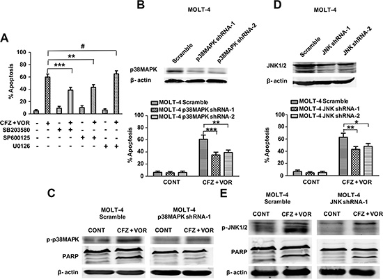 The activation of p38MAPK and JNK contribute to carfilzomib and vorinostat-induced apoptosis.