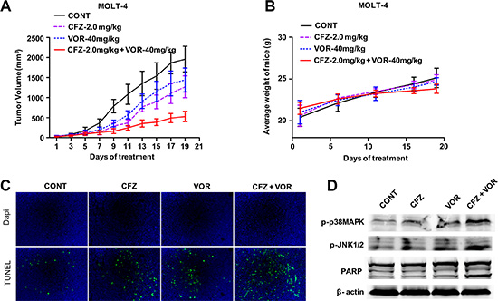 The combination of carfilzomib with vorinostat inhibits tumor growth in a human xenograft model.