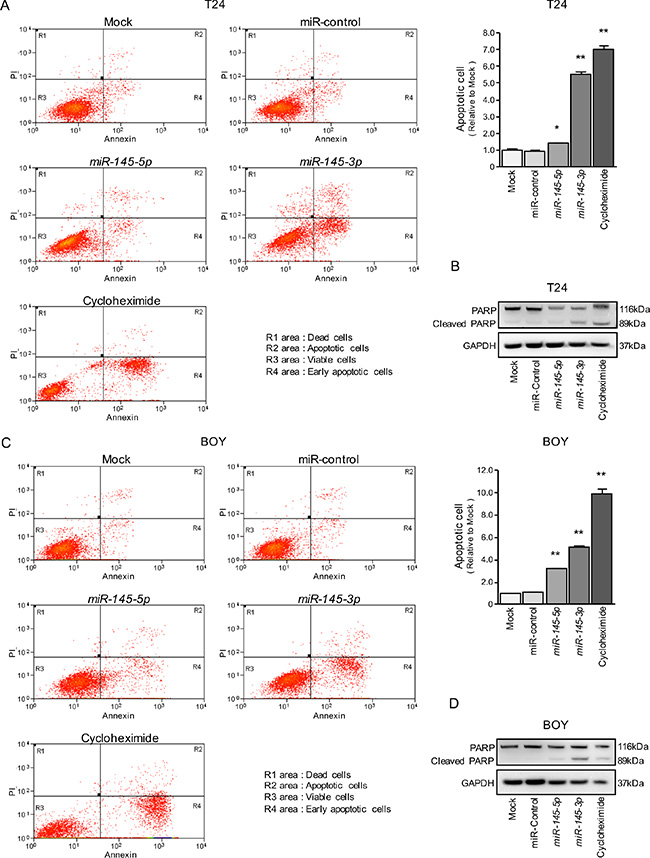 Effects of miR-145-5p and miR-145-3p on apoptosis.
