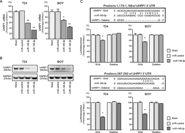 Direct regulation of UHRF1 by miR-145-5p and miR-145-3p.
