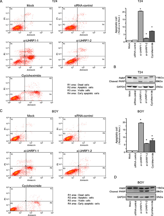 Effects of silencing UHRF1 on apoptosis in BC cell lines.