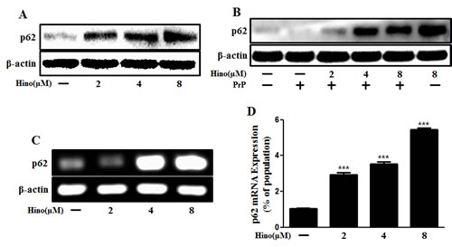 Hinokitiol increases p62/SQSTM1 mRNA and protein levels.