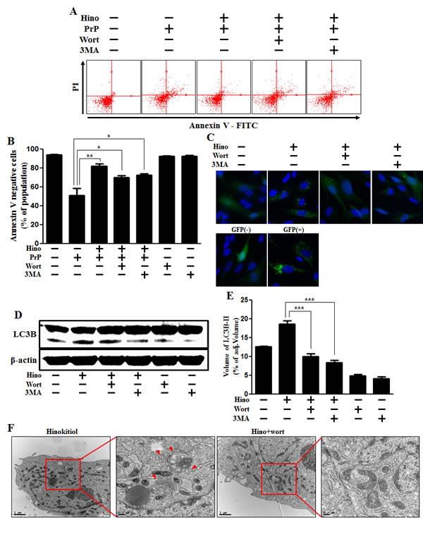 Hinokitiol-induced autophagy has a protective role in neuroblastoma cells.