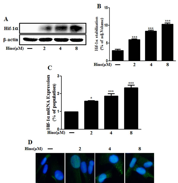 Hinokitiol induces Hif-1α stabilization.