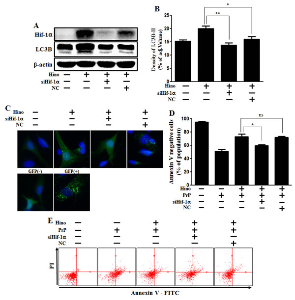 Hinokitiol-induced autophagy protects cytotoxicity