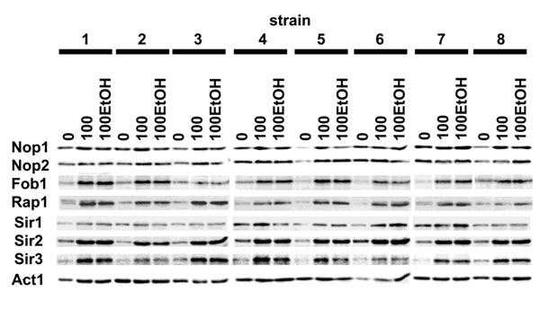Generation- and ethanol-mediated changes in the levels of selected proteins.