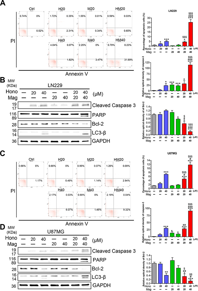 Hono-Mag promoted apoptosis and autophagy-associated proteins in GBM cells.