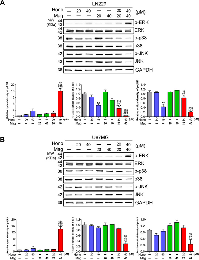 Hono-Mag down-regulated the activation of MAPKs in human GBM cells.