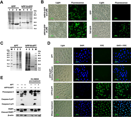 Fusion protein (hPP10-GFP and hPP10-Apoptin) penetration and functionalization in vitro