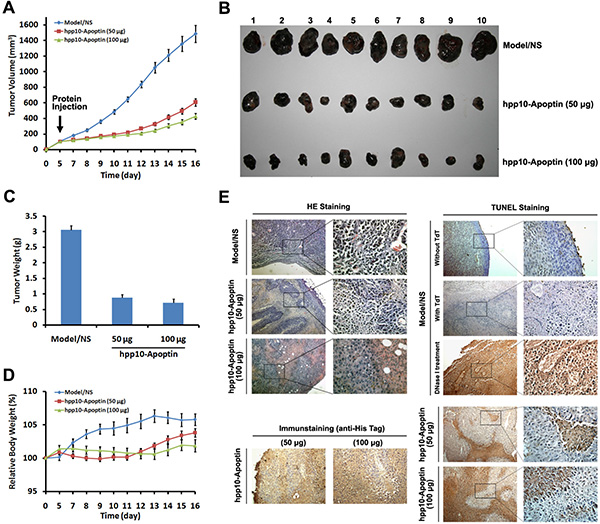 Tumor growth inhibition of hPP10-mediated Apoptin in B16 melanoma cell bearing mice in vivo.