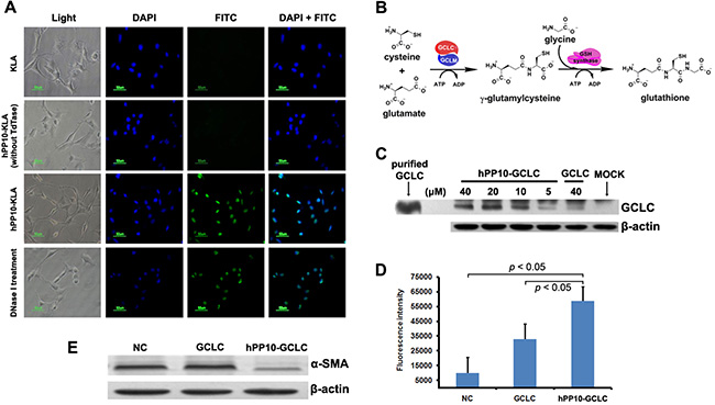 Efficient transduction of short peptide or protein in fibrosis related HSC-T6 cells in vitro.