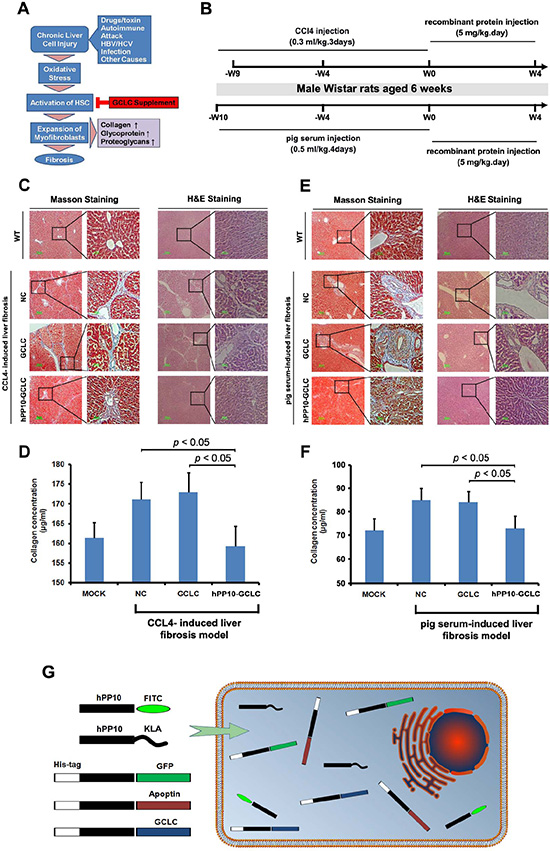 Anti-liver fibrosis effect of hPP10 conjugated with GCLC.