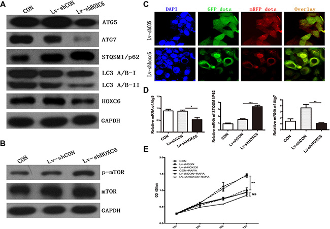 HOXC6 downregulation inhibited autophagy.