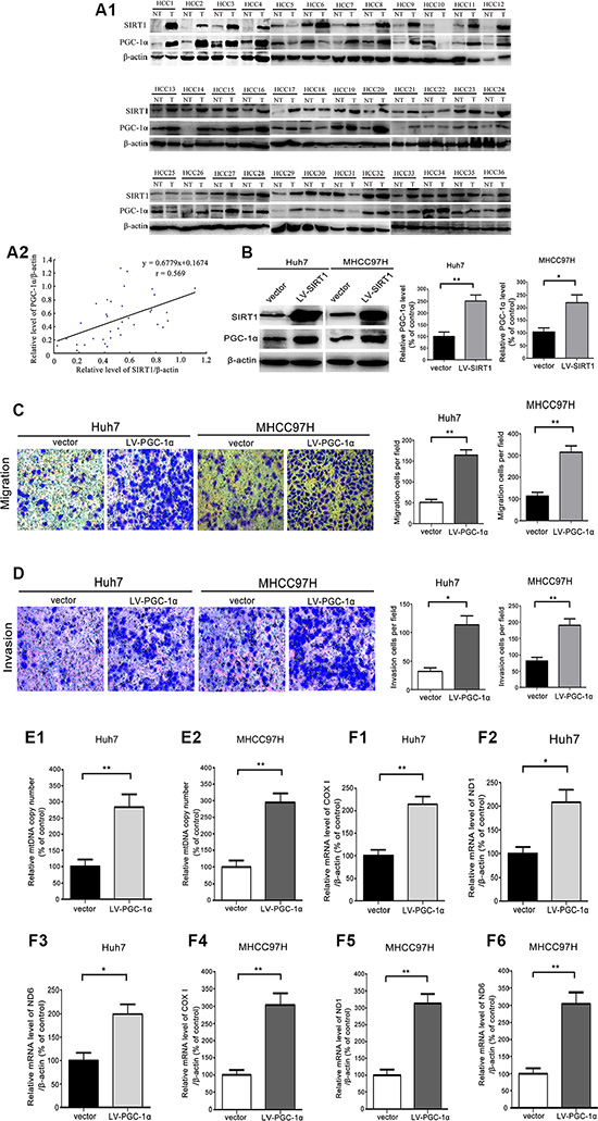 PGC-1α promoted HCC cells migration and invasion by enhancing mitochondrial biogenesis.
