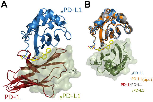 Rationale for inhibition of PD-1/PD-L1 complex formation by BMS-202.