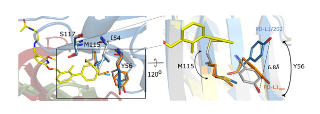 Conformational changes upon PD-L1 interaction with BMS-202.