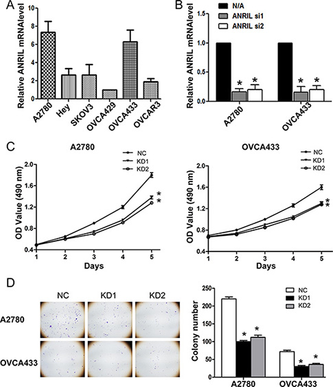 ANRIL knockdown inhibits the proliferation of A2780 and OVCA433 cells.