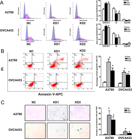 ANRIL knockdown inhibits cell cycle progression and promotes apoptosis and senescence in A2780 and OVCA433 cells.