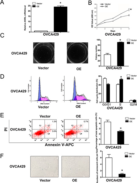 Overexpression of ANRIL promotes EOC cell proliferation and cell cycle progression, and inhibits apoptosis and senescence in OVCA429 cells.