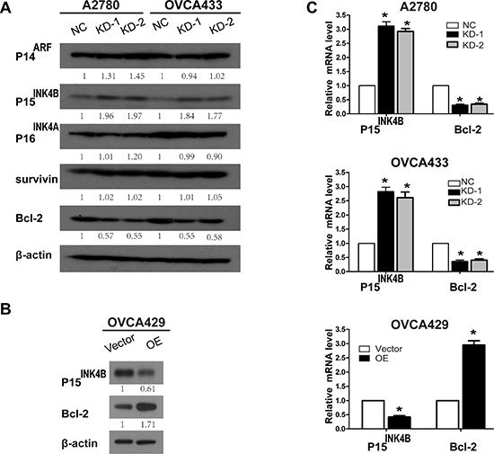 Knockdown and overexpression of ANRIL alters P15INK4B and Bcl-2 expression.