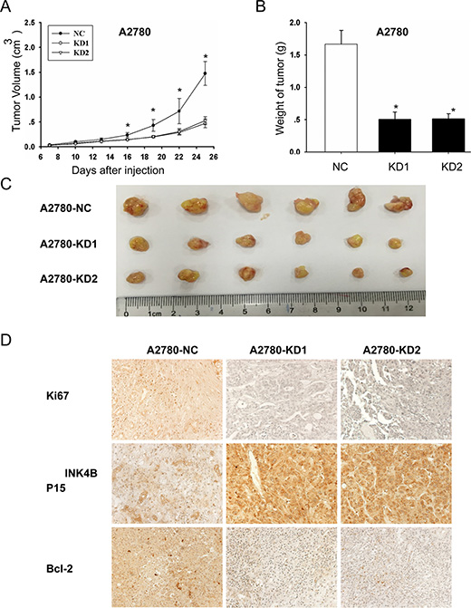 ANRIL knockdown inhibits A2780 cell proliferation in vivo.