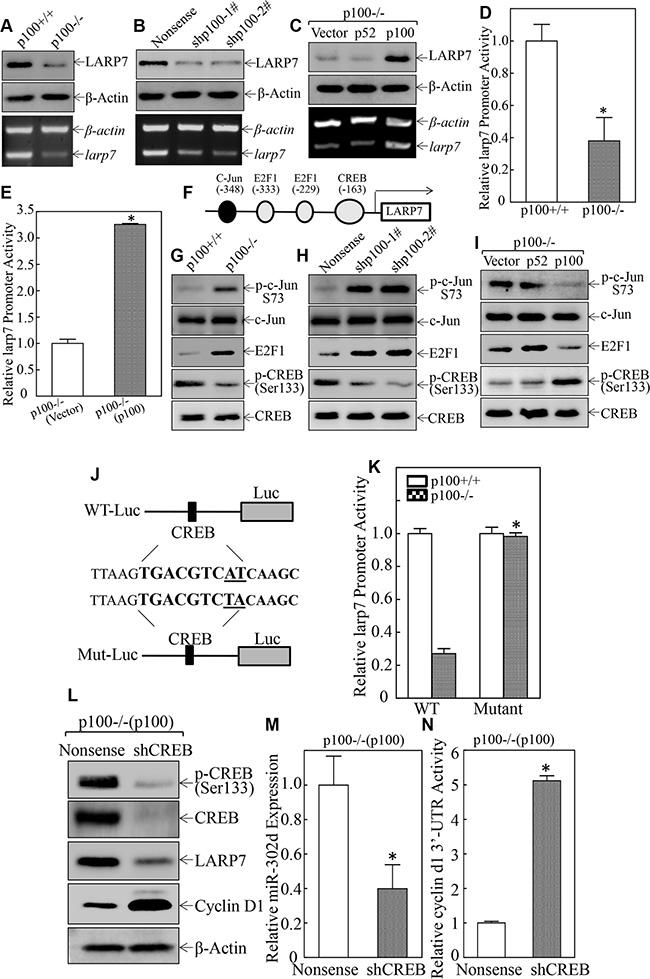 p100 stimulated miR-302d and its host gene LARP7 transcription via inducing CREB phosphorylation at Ser133.