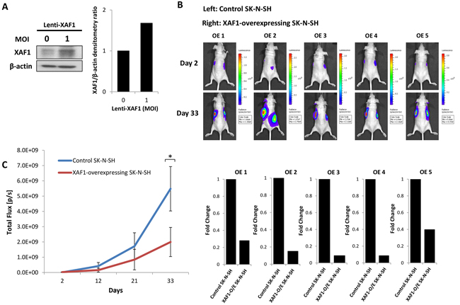 XAF1 overexpression delays tumor progression in vivo.