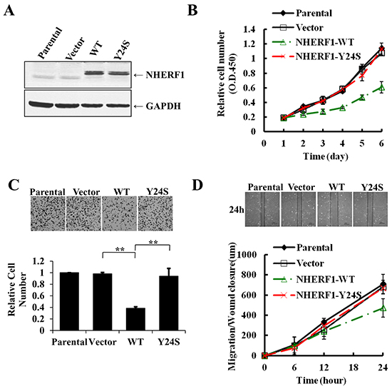 The breast cancer-derived NHERF1 Y24S mutation abolished the antitumor effects of NHERF1 in MCF-7ΔNHERF1 cells.