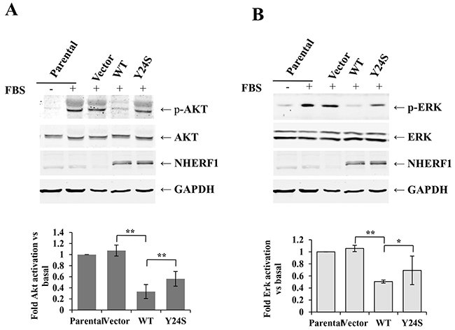 The Y24S NHERF1 mutation resulted in the loss-of-function of the NHERF1-mediated inhibition of FBS-induced AKT and ERK activation.