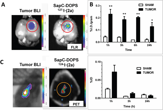 Selective targeting of intracranial glioblastoma by SapC-DOPS conjugated with an iodinated fluorochrome.
