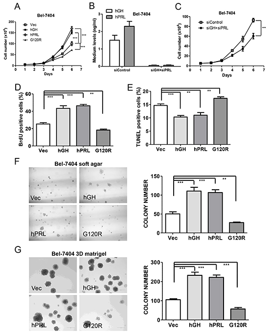 Autocrine expression of hGH or hPRL promote HCC cell oncogenicity in vitro.