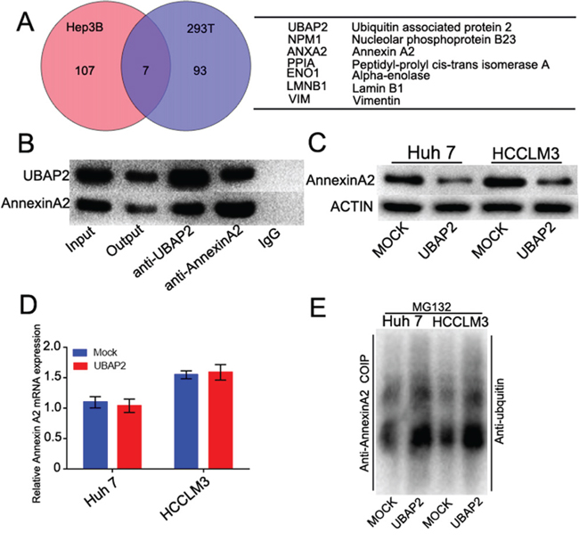 UBAP2 formed a complex with Annexin A2 and promoted Annexin A2 degradation.