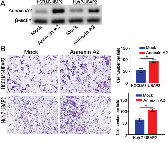 Enforced Annexin A2 expression rescued the invasive ability of HCC cells induced by UBAP2.