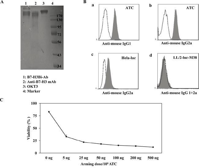 Generation of anti-CD3 × anti-B7-H3 bispecific antibody (B7-H3Bi-Ab).