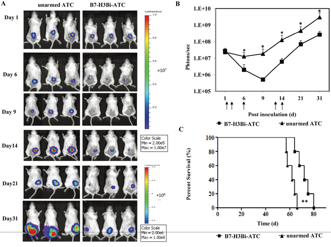In vivo anti-tumor ability of B7-H3Bi-armed ATC in mouse subcutaneous cancer model.