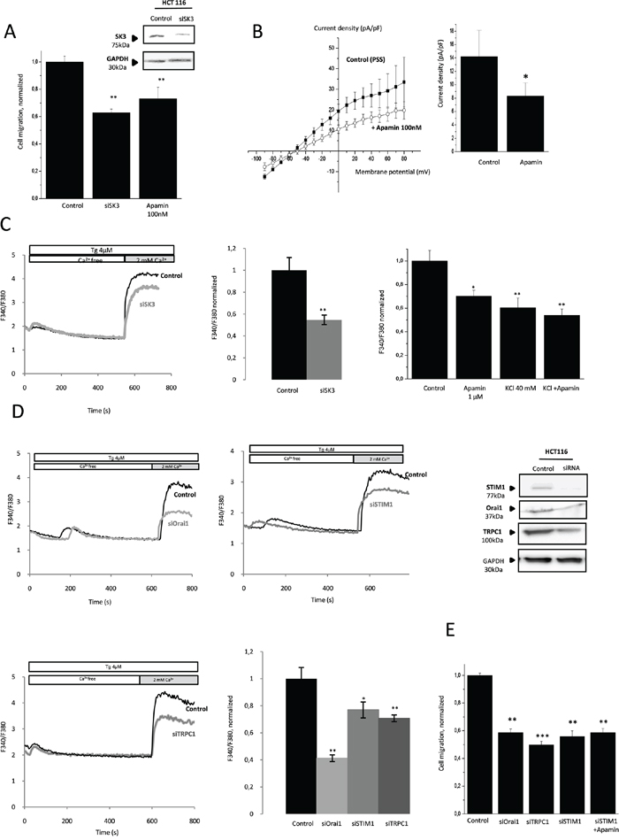 Migration of colon cancer cells HCT-116 is dependent on calcium-activated potassium channel SK3 and SOCE.