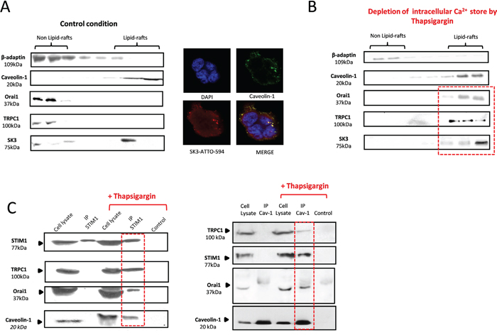 STIM1 activation, triggered by Ca2+ store depletion, recruits an Orai1/TRPC1 complex into lipid-rafts containing SK3 channels.