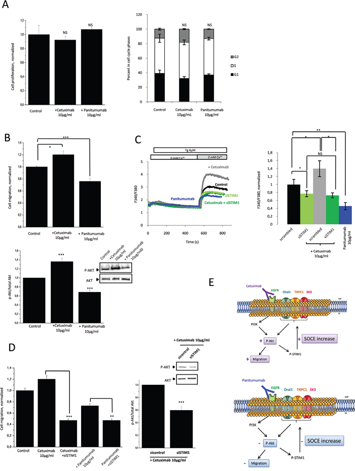 Anti-EGFR mAbs action converge with SOCE-dependent PI3K/Akt pathway involved in HCT-116 cell migration.